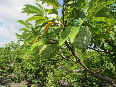 Lão nông Dụng Quý Đông: Bền bỉ khát vọng xây dựng thương hiệu cây ăn trái đặc chủng miền Đông